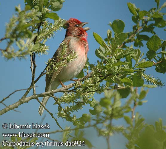 Common Rosefinch Karmingimpel Roselin cramoisi