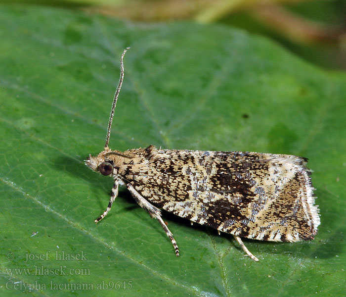 Celypha lacunana Dark Strawberry Tortrix
