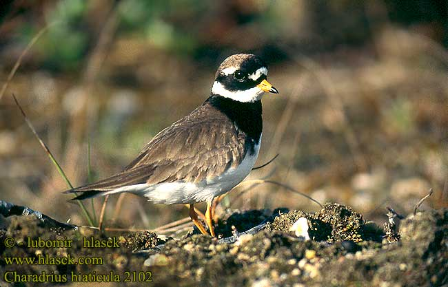 Charadrius hiaticula Ringed Plover Sandregenpfeifer Grand Gravelot
