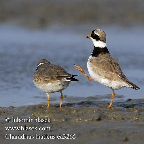 Ringed Plover Sandregenpfeifer Grand Gravelot Chorlitejo