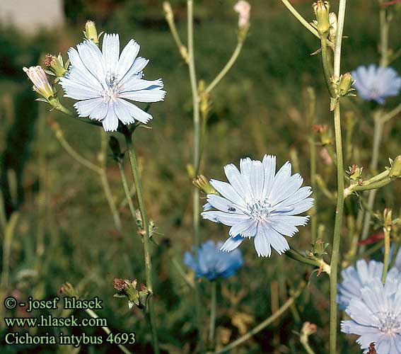 Cichorium intybus UK: Chicory FR: Endive Chicorée Witloof IT: Cicoria comune DE: Gemeine Wegwarte PL: Cykoria podróżnik SK: čakanka obyčajná ES: Achicoria