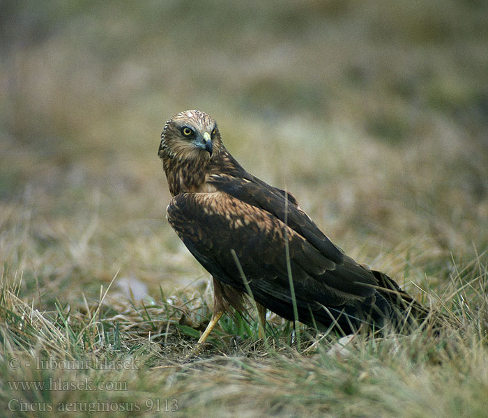 Circus aeruginosus Marsh Harrier