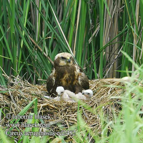 Saz delicesi זרון סוף Circus aeruginosus Marsh Harrier