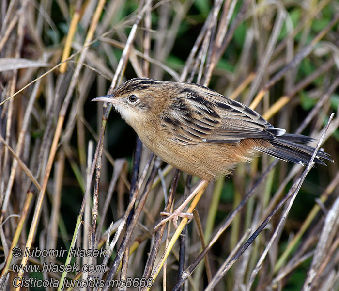 Zitting Cisticola Fan-tailed Streaked Warbler Cisticola juncidis