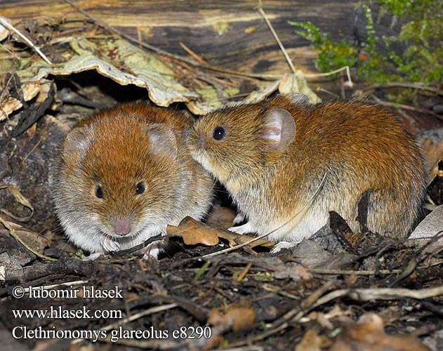 Clethrionomys glareolus (ヤチネズミ) Bank Vole Campagnol roussâtre