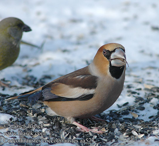 Coccothraustes coccothraustes シメ بلبل زيتوني 콩�