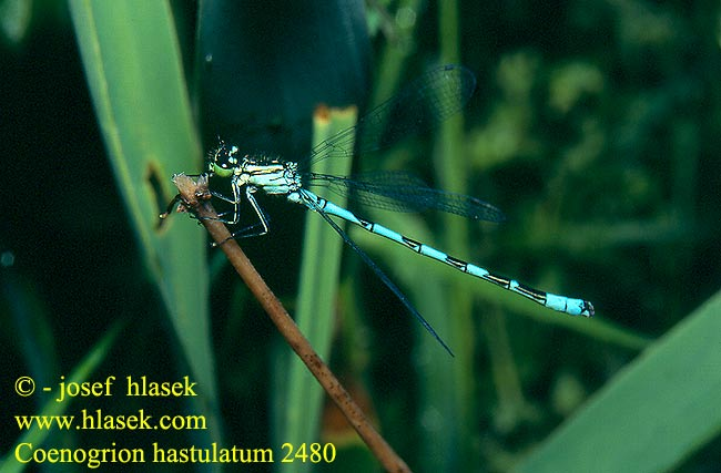 Coenagrion hastulatum 2480