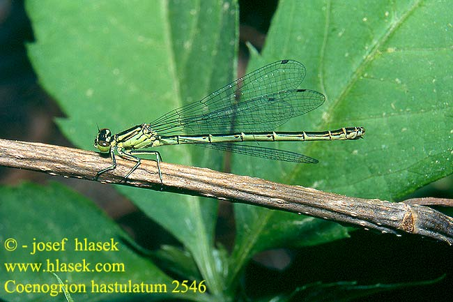 Coenagrion hastulatum 2546