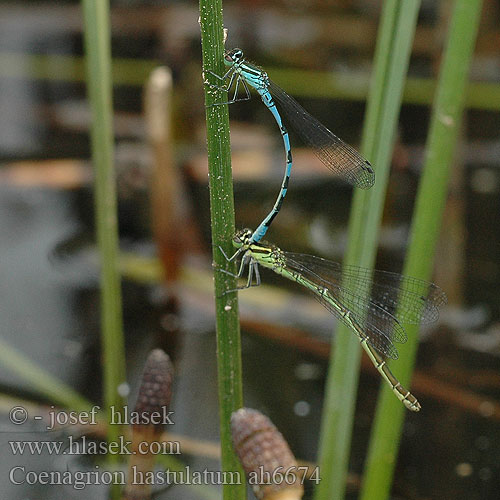 Coenagrion hastulatum ah6674