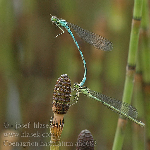 Coenagrion hastulatum ah6683