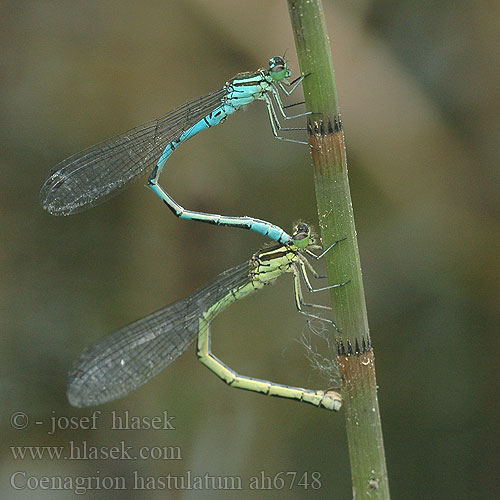 Coenagrion hastulatum ah6748