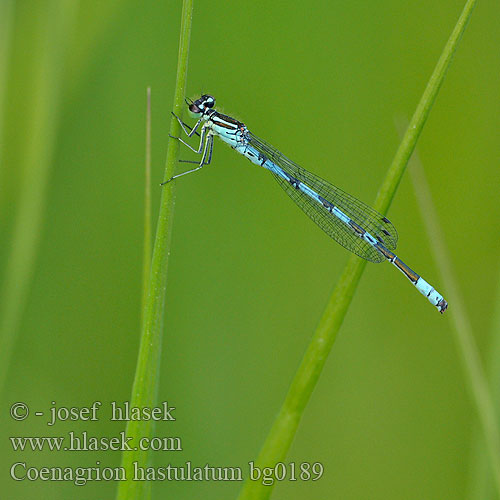 Coenagrion hastulatum bg0189
