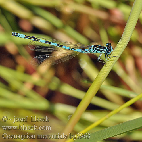 Coenagrion mercuriale bg8963