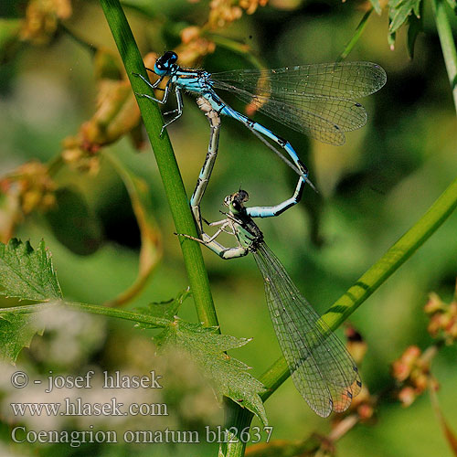 Coenagrion ornatum Ornate Bluet Šidélko ozdobné Vogel-Azurjungfer Vogelwaterjuffer Agrion orné Šidielko ozdobné Díszes légivadász Łątka ozdobna Стрелка украшенная