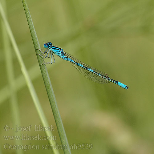 Coenagrion scitulum Łątka zalotna šidélko huňaté Стрелка красивая Стрілка гарна Dainty damselfly Bluet Gabel-Azurjungfer