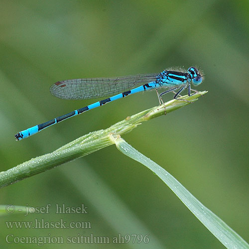 Coenagrion scitulum šidélko huňaté Стрелка красивая Стрілка гарна Dainty damselfly Bluet Gabel-Azurjungfer