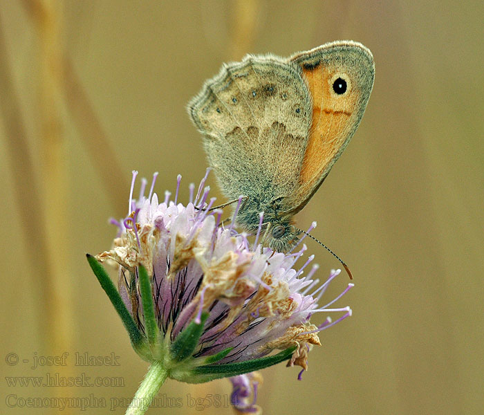 Small Heath Procris Coenonympha pamphilus