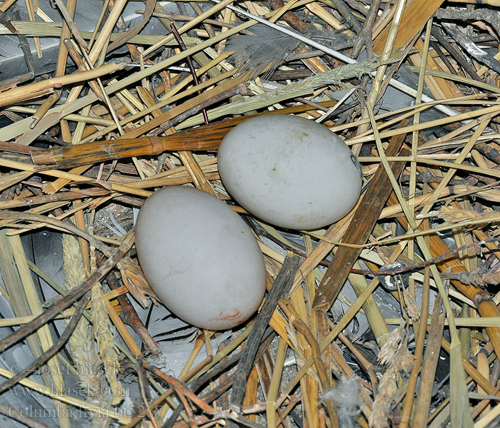 Eggs Columba livia Rock Dove