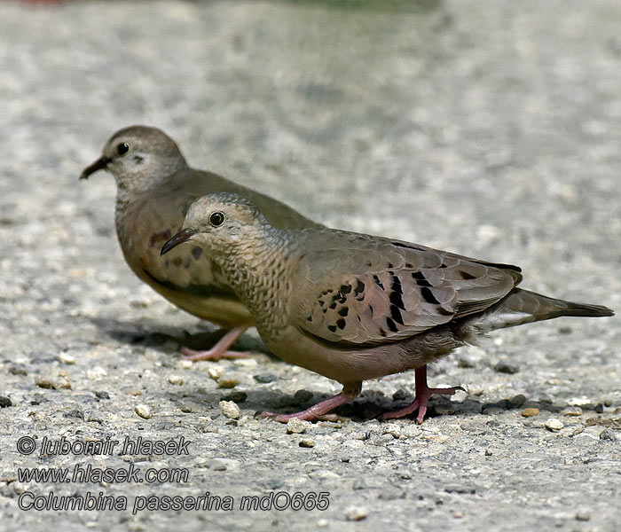 Spurvedue Common Ground-Dove Columbina Común Suomuvarpuskyyhky