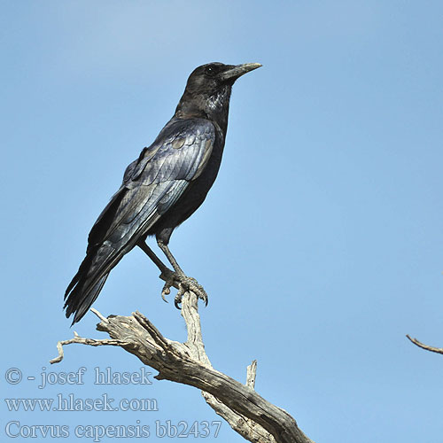 Corvus capensis bb2437