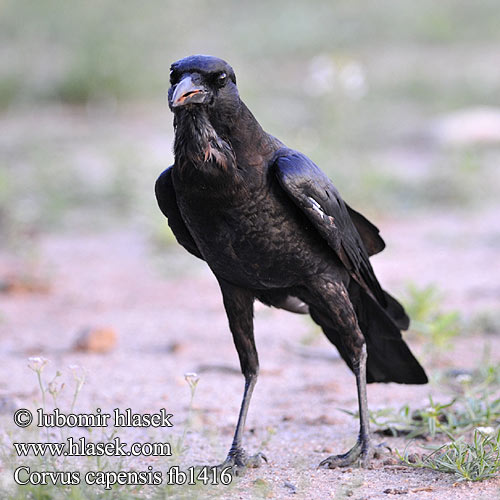Corvus capensis fb1416