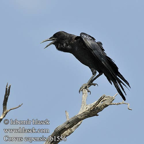 Corvus capensis fb1556