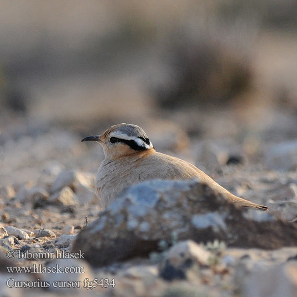 Cursorius cursor Cream-colored Courser