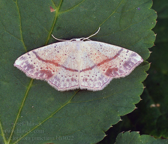 Cyclophora punctaria Maiden's Blush Grauroter Očkovec dubový