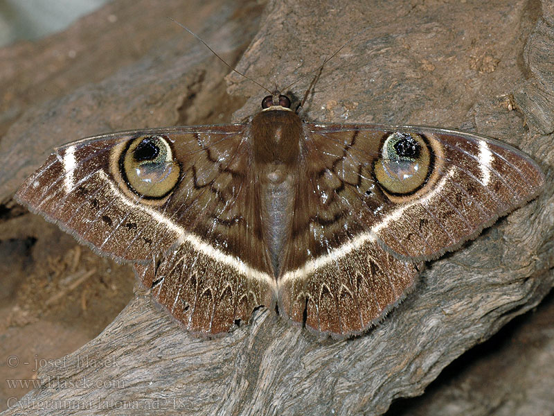Cyligramma latona Cream striped owl <!-- голос -->