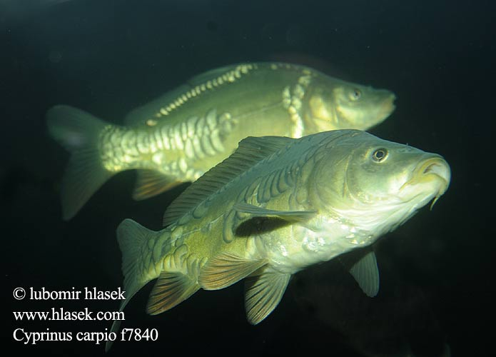 Cyprinus carpio Common carp Çökə Šaran Karpenn Шаран