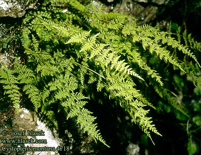 Cystopteris montana Mountain-lace Fern Bladder Beskrivelse