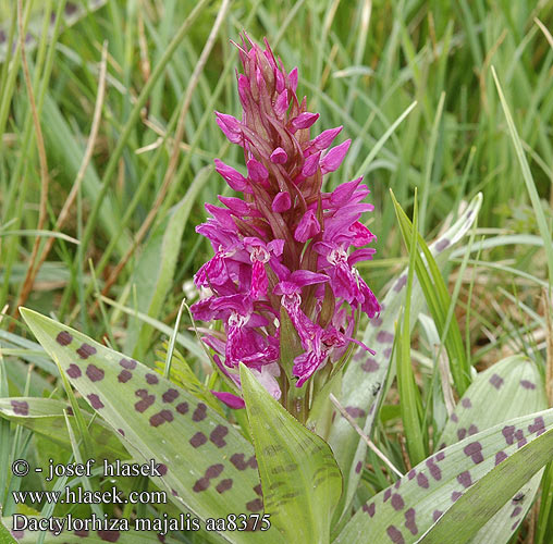 Dactylorhiza majalis Orchis larges feuilles mai Orchidea maggio