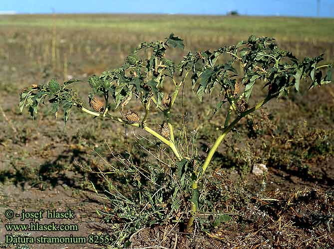 Datura stramonium Jimsonweed thornapple Jamestown-weed Devil's apple