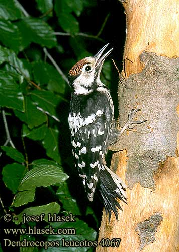 Dendrocopos leucotos White-backed Woodpecker