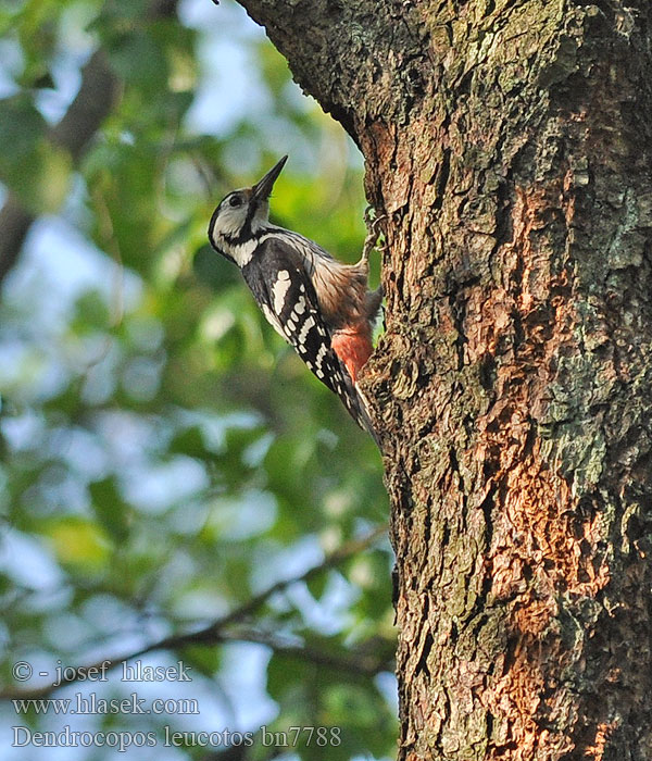 White-backed Woodpecker Weißrückenspecht Pic dos blanc