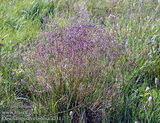 Deschampsia cespitosa Tufted Hair-grass Mose-Bunke Nurmilauha