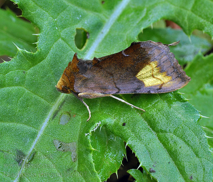Diachrysia chryson Scarce burnished brass