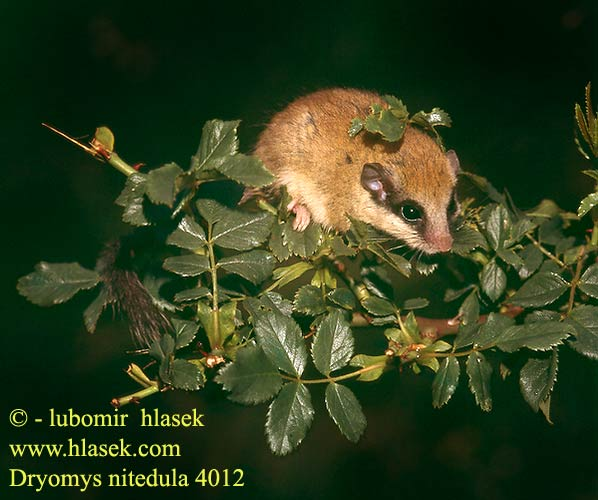 Dryomys nitedula Forest dormouse Baumschläfer