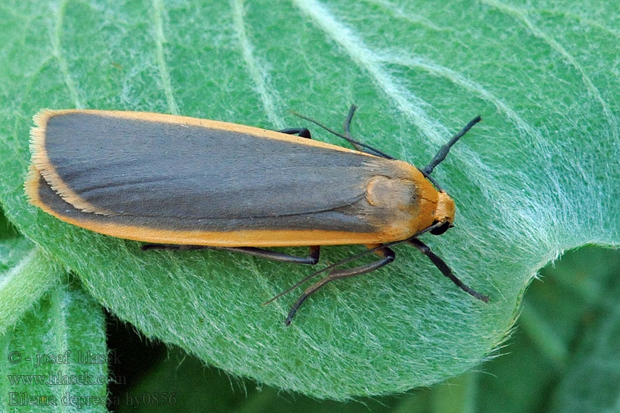 Buff Footman Eilema depressa