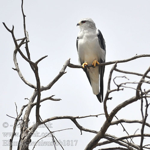 דאה שחורת-כתף Elanus caeruleus Blackshouldered Black-shouldered Kite