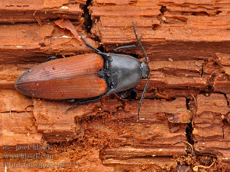Elater ferrugineus Rusty Click Beetle