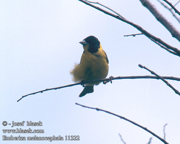 Emberiza melanocephala Black-headed Bunting Kappenammer