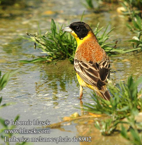 Emberiza melanocephala Presura cap negr Black-headed Bunting