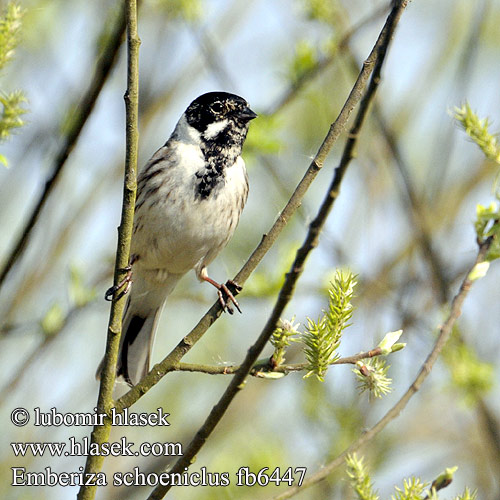 Reed Bunting Rohrammer Bruant roseaux Escribano Palustre