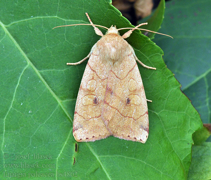 Enargia paleacea Angle-striped Sallow