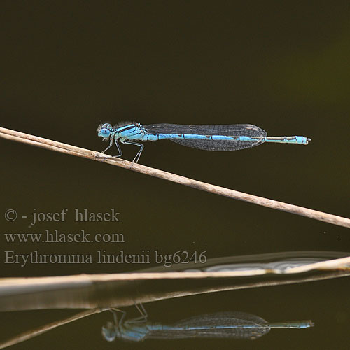 Erythromma lindenii Cercion Goblet Marked damselfly
