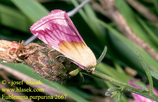 Eublemma purpurina 2667 UK: Beautiful Marbled FI: Purppurakääpiöyökkönen HU: Bíborbagoly DE: Purpur-Zwergeulchen SK: Morička purpurová CZ: světlopáska pcháčová SYN: purpurinum