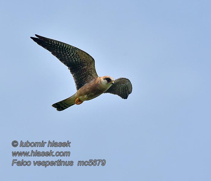Falco vespertinus
