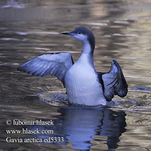 Gavia arctica Arctic Loon Black-throated Diver