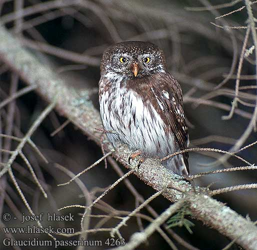 Pygmy Owl Sperlingskauz Chevêchette Europe Mochuelo Chico